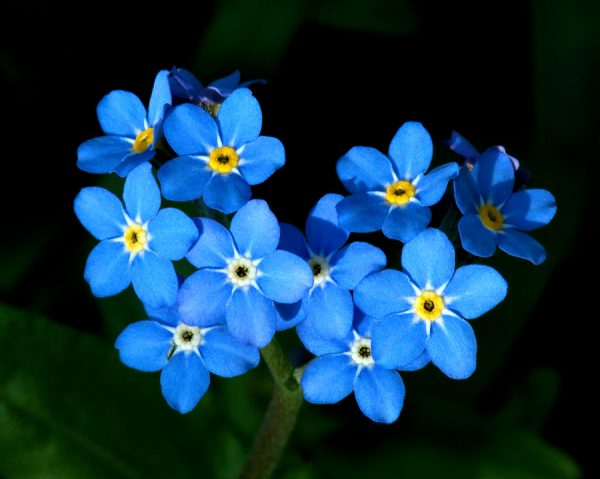 Forget Me Not 600x479